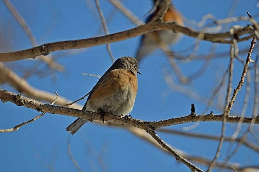 Western Bluebird 1