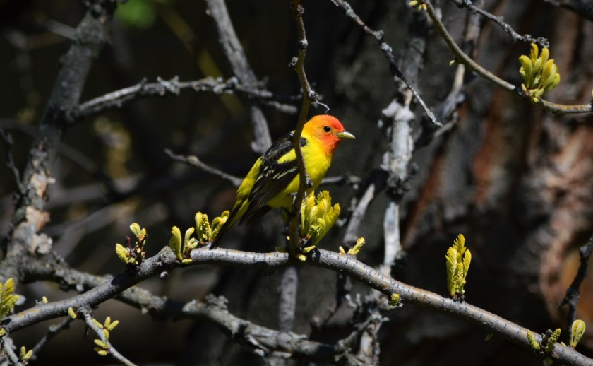 Tanager 2