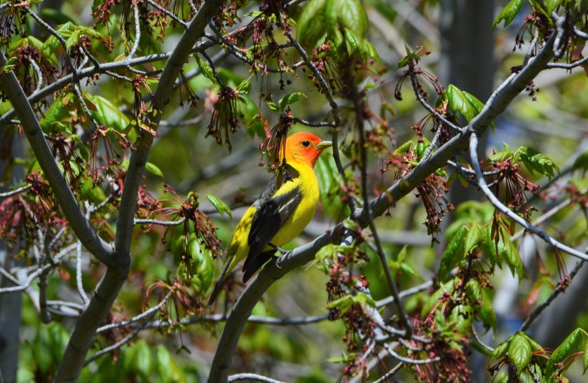 Tanager 3